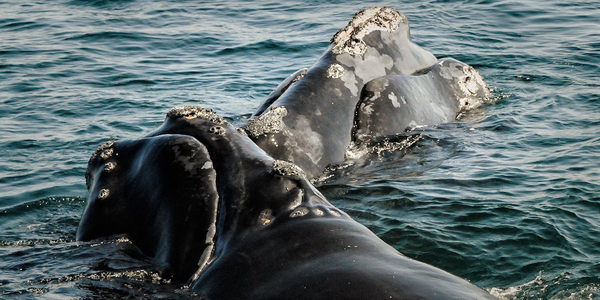A race against time: Saving the North Atlantic right whale